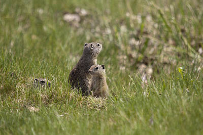 Photograph - Richardson's Ground Squirrel - 0007 by S and S Photo