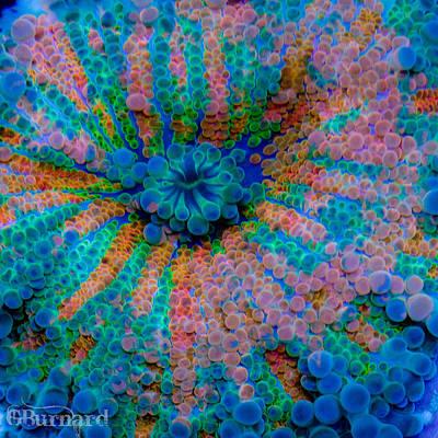 Ricordea Galaxy Print by Guinapora Graphics