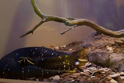 Target Threshold Nature - Ridgenosed Rattlesnake 3 by Douglas Barnett
