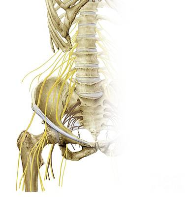 Right Hip And Nerve Plexus, Artwork Art Print by D & L Graphics / Science Photo Library
