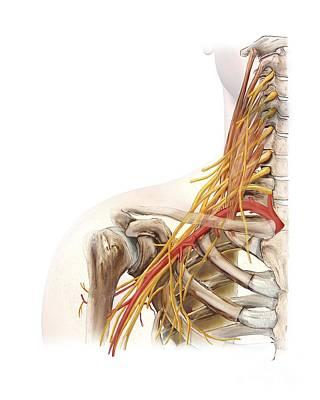 Right Shoulder And Nerve Plexus, Artwork Art Print by D & L Graphics