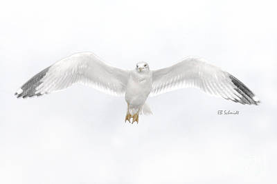 Photograph - Ring-billed Gull 01 by E B Schmidt