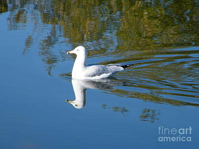 Photograph - Ring-billed Gull by Ann E Robson