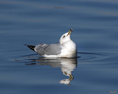 Photograph - Ring-billed Gull Dseab006 by Gerry Gantt