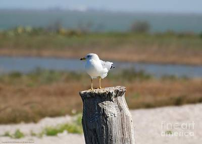 Photograph - Ring-billed Gull I by GD Rankin