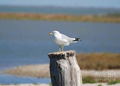Photograph - Ring-billed Gull II by GD Rankin