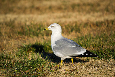 Photograph - Ring-billed Gull by Nathan Hillis