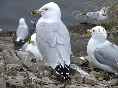 Photograph - Ring-billed Gull by Peggy King
