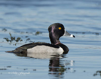 Photograph - Ring-necked Duck by Mike Fitzgerald