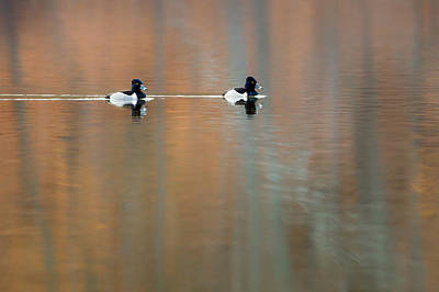 Photograph - Ring Necked Ducks by Bill Wakeley