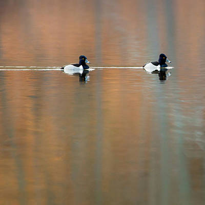 Photograph - Ring Necked Ducks Square by Bill Wakeley