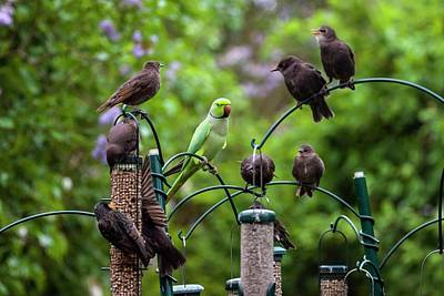 Parakeet Wall Art - Photograph - Ring-necked Parakeet And Starlings On Bird Feeders by Georgette Douwma/science Photo Library