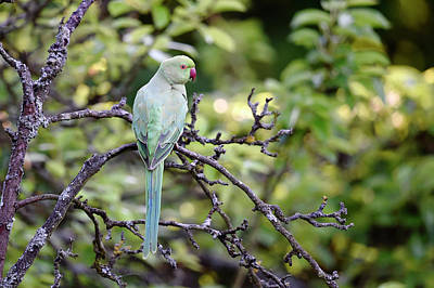Parakeet Photograph - Ring-necked Parakeet by Dr P. Marazzi