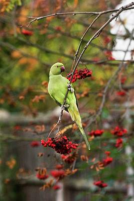 Parakeet Wall Art - Photograph - Ring-necked Parakeet In A Tree by Georgette Douwma/science Photo Library