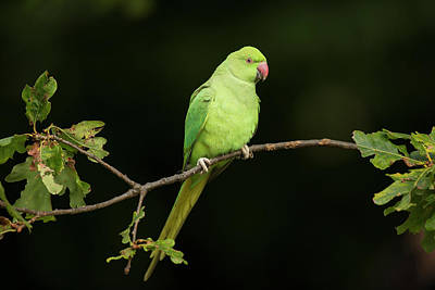 Parakeet Wall Art - Photograph - Ring-necked Parakeet by Simon Booth/science Photo Library