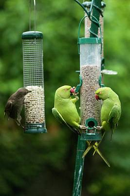 Parakeet Wall Art - Photograph - Ring-necked Parakeets And Starling On Bird Feeders by Georgette Douwma/science Photo Library