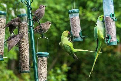 Parakeet Wall Art - Photograph - Ring-necked Parakeets And Starlings On Bird Feeders by Georgette Douwma/science Photo Library