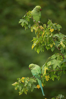 Parakeet Wall Art - Photograph - Ring-necked Parakeets by Simon Booth/science Photo Library