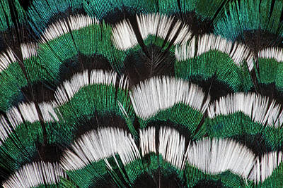 Pheasant Photograph - Ring-necked Pheasant Neck Feathers by Darrell Gulin