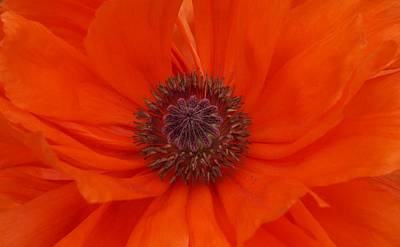Photograph - Ring Of Fire Poppy by Julie Grandfield