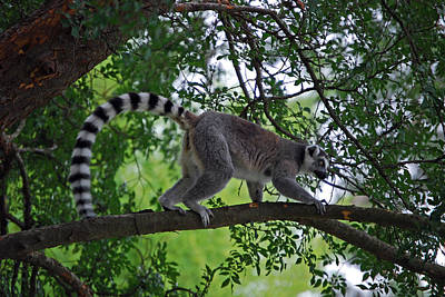 Ring-tail Lemur Photograph - Ring-tail Above by Skip Willits