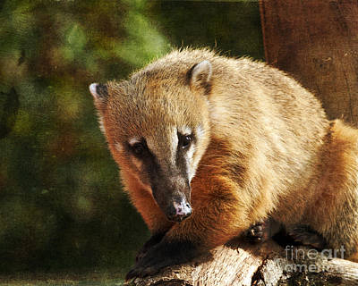 Photograph - Ring Tailed Coati by Terri Waters
