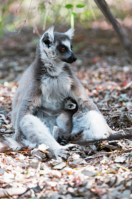 Two Tailed Photograph - Ring-tailed Lemur And Baby by Dr P. Marazzi