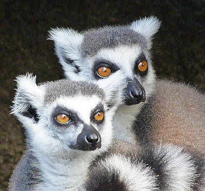 Photograph - Ring-tailed Lemur Companions by Margaret Saheed