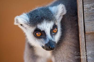 Monkeys Photograph - Ring Tailed Lemur by George Atsametakis