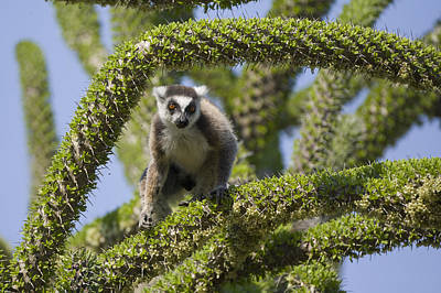 Ring-tailed Lemur In Octopus Tree Art Print
