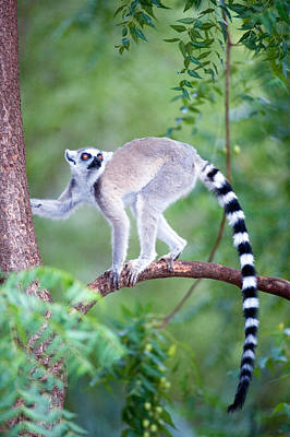 Climbing In Photograph - Ring-tailed Lemur Lemur Catta Climbing by Panoramic Images