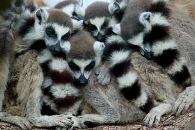 Ring-tailed Lemur Lemur Catta Group Art Print
