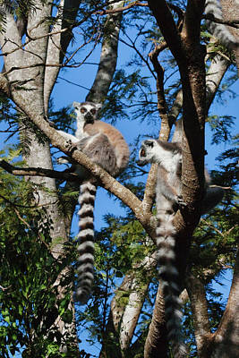 Two Tailed Photograph - Ring Tailed Lemur (lemur Catta by Keren Su