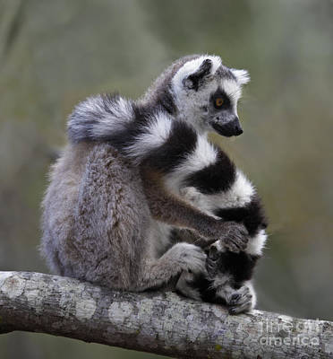 Photograph - Ring-tailed Lemur Lemur Catta  by Liz Leyden