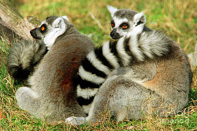 Lemur Catta Photograph - Ring-tailed Lemur Lemur Catta Pair by Millard H. Sharp