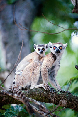 Two Tailed Photograph - Ring-tailed Lemur Lemur Catta by Panoramic Images