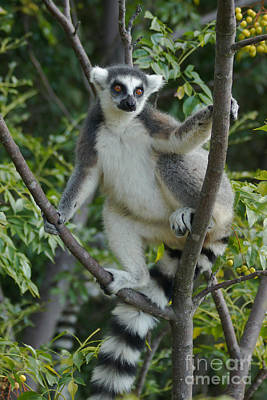 Photograph - ring-tailed lemur Madagascar 2 by Rudi Prott
