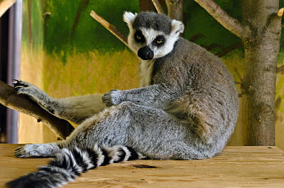 Ring-tailed Lemur Photograph - Ring-tailed Lemur by Mark Papke