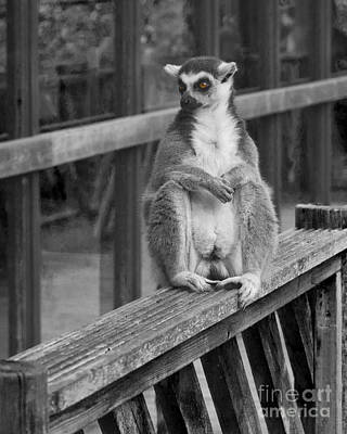 Photograph - Ring Tailed Lemur by Terri Waters