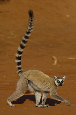 Ring-tailed Lemur Walking Berenty Art Print by Pete Oxford