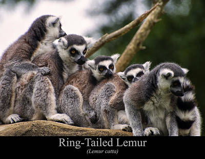 Digital Art - Ring Tailed Lemurs by Chris Flees