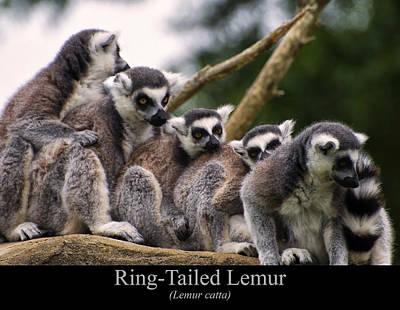 Ring Tailed Lemur Digital Art - Ring Tailed Lemurs by Chris Flees