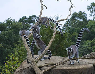 Digital Art - Ring Tailed Lemurs Playing by Chris Flees