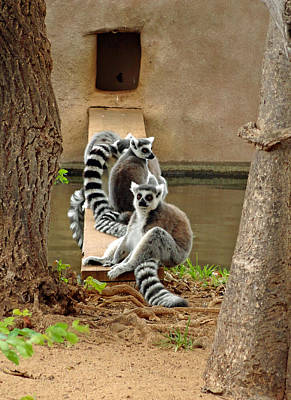 Photograph - Ring-tailed Lemurs by Robert Meyers-Lussier