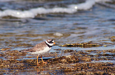 Photograph - Ringed Plover  by Dreamland Media