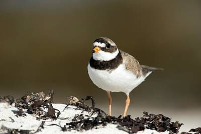 Plover Photograph - Ringed Plover by Simon Booth