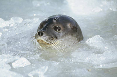 Photograph - Ringed Seal Surfacing In Brash Ice by Tui De Roy