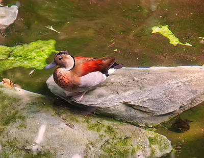 Photograph - Ringed Teal On A Rock by Chris Flees