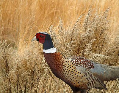 Ringneck Pheasant  Art Print by TnBackroadsPhotos