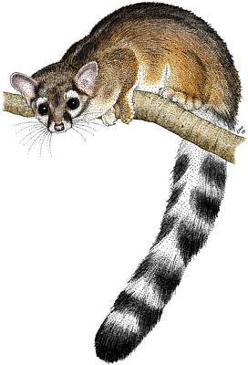 Photograph - Ringtail Cat by Roger Hall